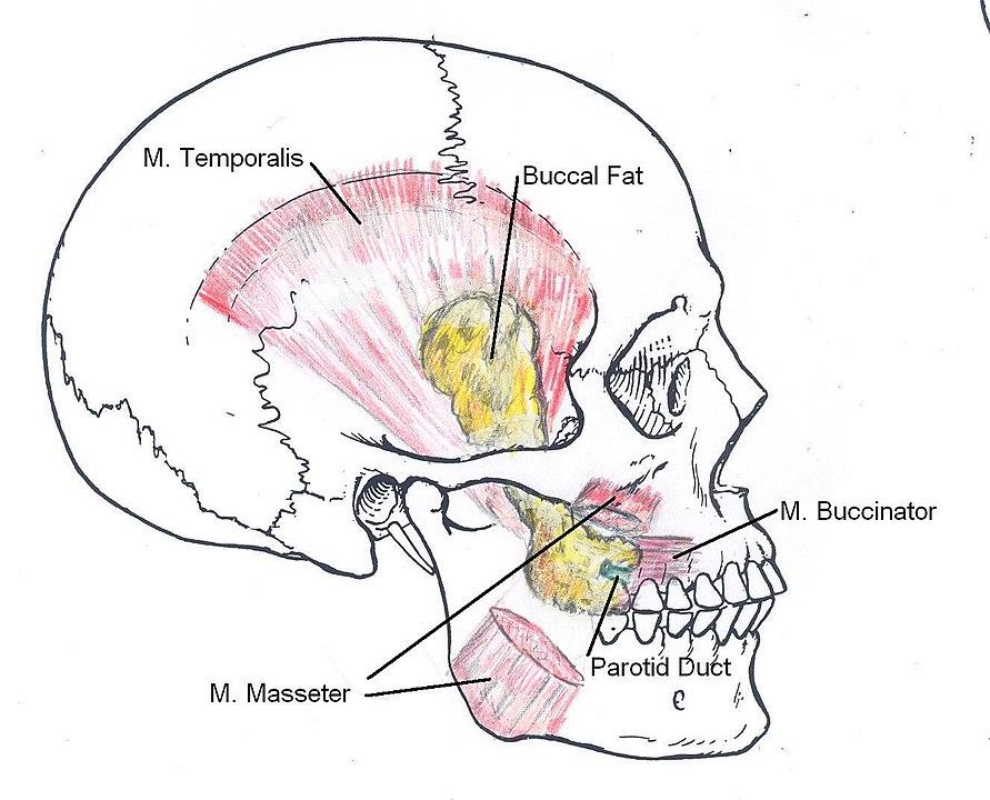 anatomia della bolla di bichat