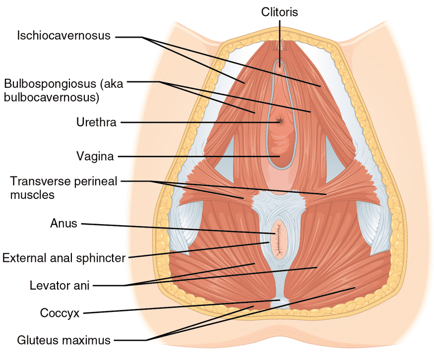 cosmetic perineoplasty to tighten the perineum muscles and vaginal opening